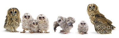 Tawny Owl Family Art Print