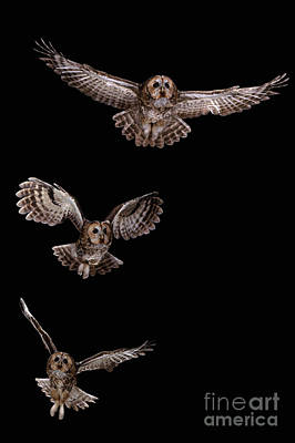 Photograph - Tawny Owl Flight Sequence by Warren Photographic