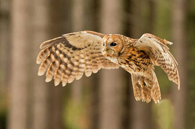 Photograph - Tawny Owl Flying by David Hare