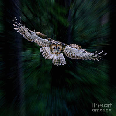 Photograph - Tawny Owl Flying Through Woods by Warren Photographic