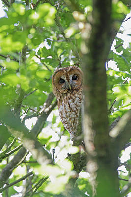 Photograph - Tawny Owl by Peter Walkden