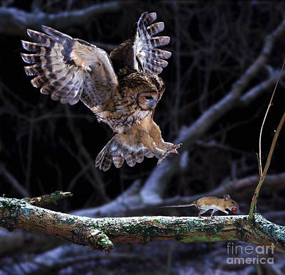 Photograph - Tawny Owl Pouncing A Running Mouse by Warren Photographic