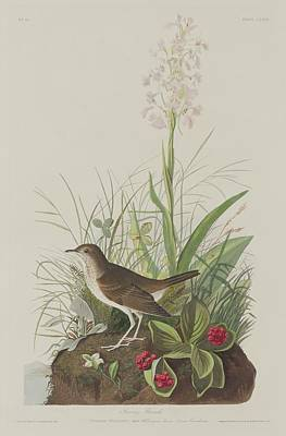 Wings Drawing - Tawny Thrush by Dreyer Wildlife Print Collections