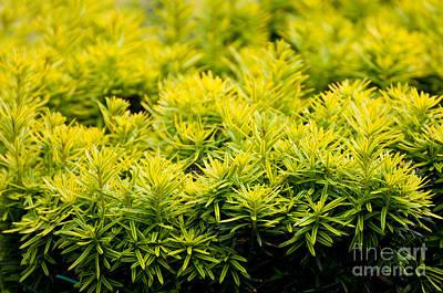 Taxus Baccata Yew New Shoots Art Print