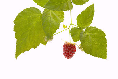 Berries Photograph - Tayberry by Andy Smy