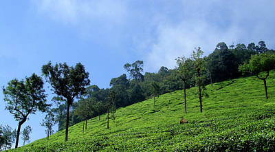 Photograph - Tea Plantation Near Ooty, India by Misentropy