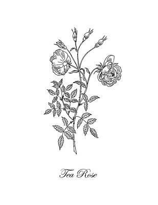 Roses Drawings - Tea Rose. Botanical by Masha Batkova