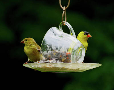 Photograph - Teacup For Two - Goldfinches by MTBobbins Photography