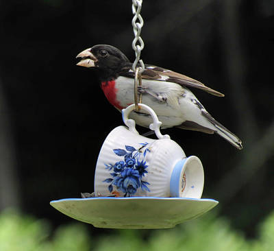 Photograph - Teacup Roses - Rose Breasted Grosbeak - Bird by MTBobbins Photography