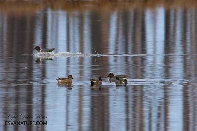 Photograph - Teal Duck 0331 by Captain Debbie Ritter