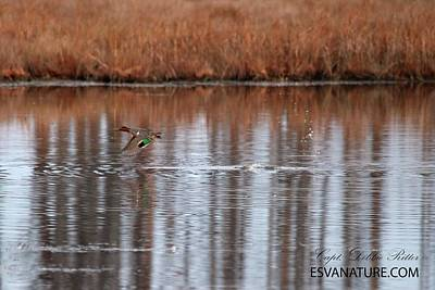 Photograph - Teal Duck 0366 by Captain Debbie Ritter