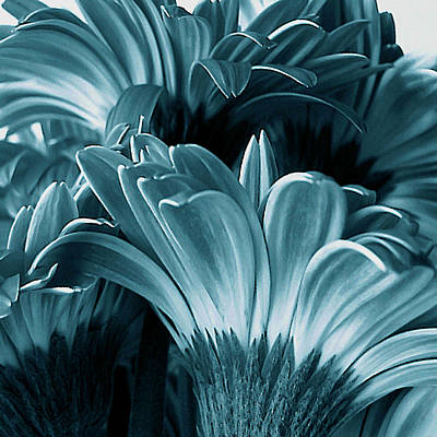 Photograph - Teal Gerberas by Tony Grider