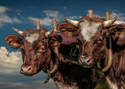 Photograph - Team Of Oxen by Randall Nyhof
