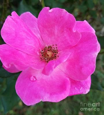 Photograph - Teardrop Rose by Maria Urso