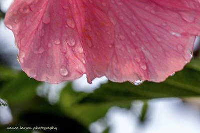 Photograph - Tears On Pink by Nance Larson