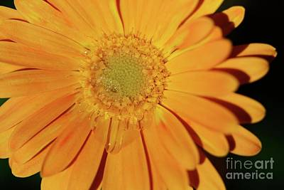 Photograph - Teary Flower by Cindy Manero