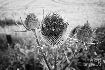 Flower Ring Photograph - Teasel Dipsacus Fullonum Plant Growing In North Wales Uk by Joe Fox