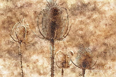 Art Print featuring the photograph Teasel Heads  by Dariusz Gudowicz