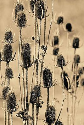 Photograph - Teasel by Photography by Tiwago