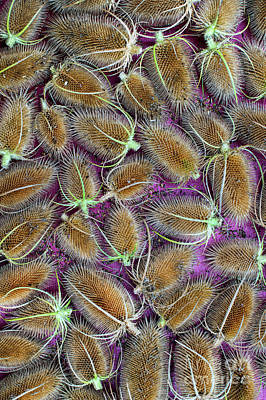 Photograph - Teasel Seed Heads by Tim Gainey