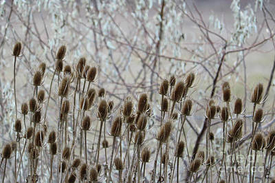 Photograph - Teasel Seed Pods by Carol Groenen