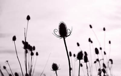 Photograph - Teasels In A French Field  II by Gareth Davies
