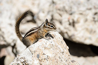 Photograph - Teasing Chipmunk #2 by Debra Martz