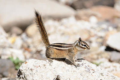 Photograph - Teasing Chipmunk #3 by Debra Martz