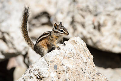 Photograph - Teasing Chipmunk by Debra Martz