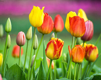 Photograph - Technicolor Tulips by Bill Pevlor