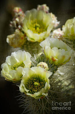 Yellow Cactus Flower Photograph - Teddy Bear Cholla-cylindropuntia Bigelovii by Saija  Lehtonen