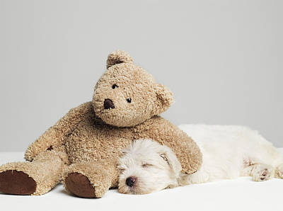 Teddy Bear Resting On Sleeping West Highland Terrier Puppy, Studio Shot Print by Roger Wright