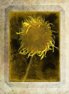 Photograph - Teddy Bear Sunflower # 2 by Craig J Satterlee