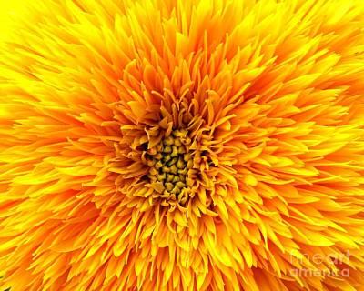 Photograph - Teddy Bear Sunflower Macro by Rose Santuci-Sofranko