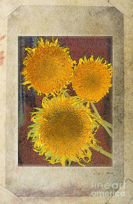 Photograph - Teddy Bear Sunflowers by Craig J Satterlee