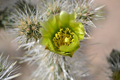 Photograph - Teddybear Cholla Flower by rd Erickson