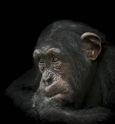 Chimpanzee Photograph - Tedium by Paul Neville