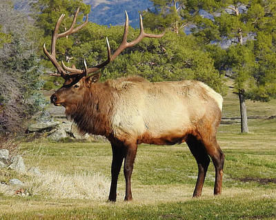 Photograph - Tehachapi Mountain Elk by Sandra O'Toole