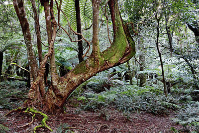 Photograph - Temperate Rainforest by Nicholas Blackwell