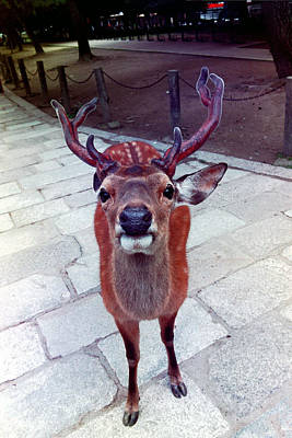 Photograph - Temple Deer At Nara by Dianne Levy