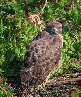 Hawk Photograph - Temporarily Grounded by Loree Johnson