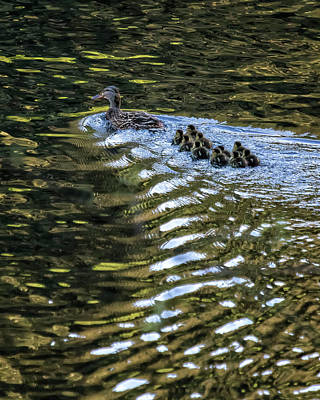 Photograph - Ten Little Mallards And Mama by Belinda Greb