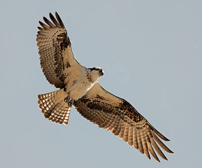 Photograph - Tenacious Osprey by Loree Johnson