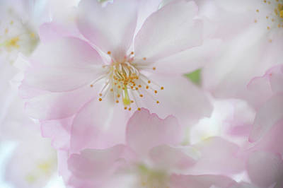 Photograph - Tender Bloom Of Sakura by Jenny Rainbow