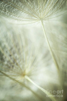 Photograph - Tender Dandelion by Iris Greenwell