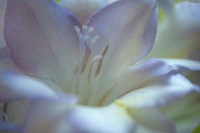 Photograph - Tender Flowers Of Freesia 10. Pastel Sketches by Jenny Rainbow