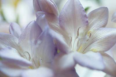 Photograph - Tender Flowers Of Freesia 12. Pastel Sketches by Jenny Rainbow