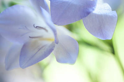 Photograph - Tender Flowers Of Freesia 4. Pastel Sketches by Jenny Rainbow