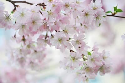 The Sakura Photograph - Tender Spring Pastels by Jenny Rainbow