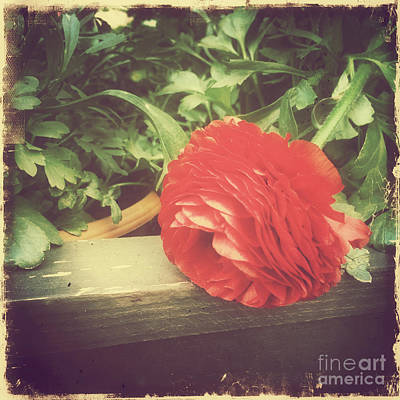 Photograph - Tenderness Of Summer - Rose Red by Miriam Danar